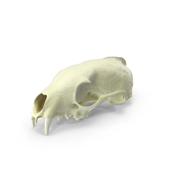 Animal: White Breasted Marten Skull PNG & PSD Images