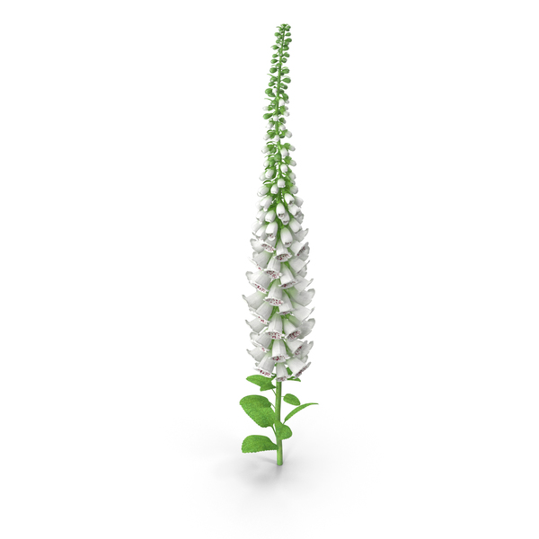 White Foxglove PNG & PSD Images