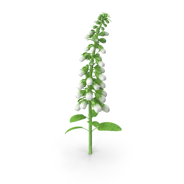 White Foxglove Stem PNG & PSD Images