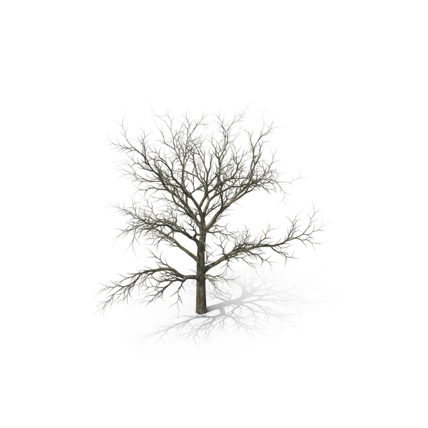 White Oak Tree Winter PNG & PSD Images