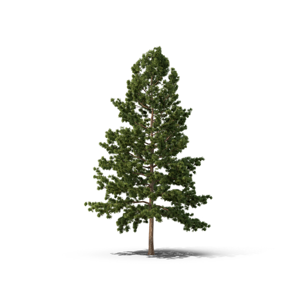 White Pine Tree Object