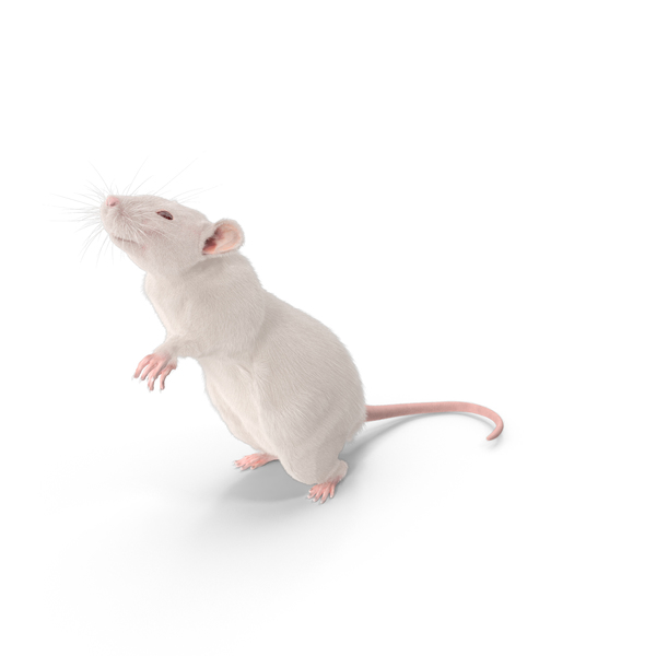 White Rat PNG & PSD Images