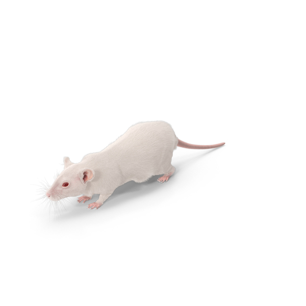 White Rat Object