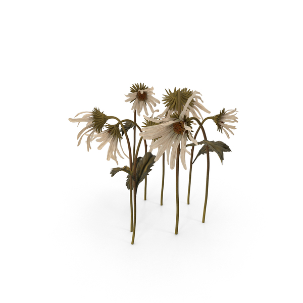 Withered Daisies PNG & PSD Images