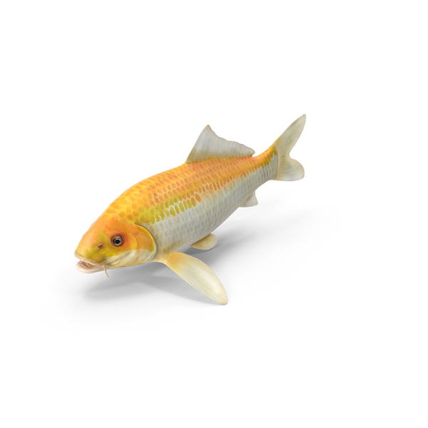 Yellow Koi Ogon Fish Object