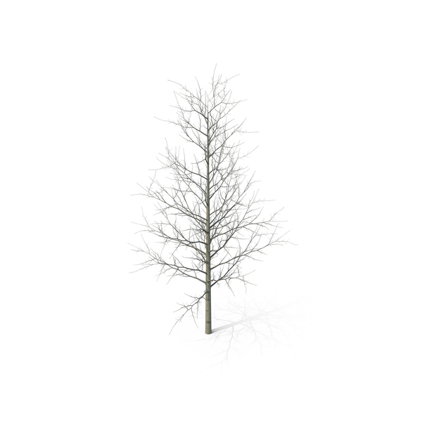 Young Yellow Poplar Tree Winter PNG & PSD Images